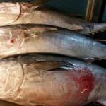 Fermata imbarcazione con tonno rosso a bordo: sequestrato e donato agli anziani
