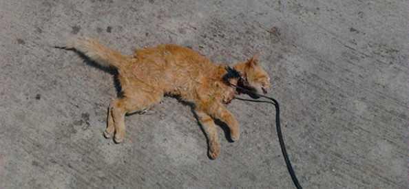 Attenzione dopo l'avvelenamento di una colonia di gatti
