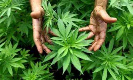 Torre del Greco, una serra di marijuana nel suo casolare: arrestato 41enne
