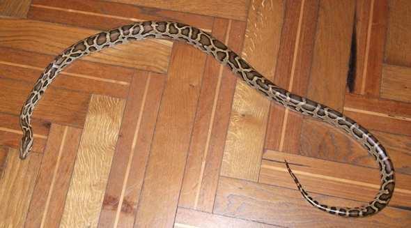 Paura a Napoli: serpenti in casa