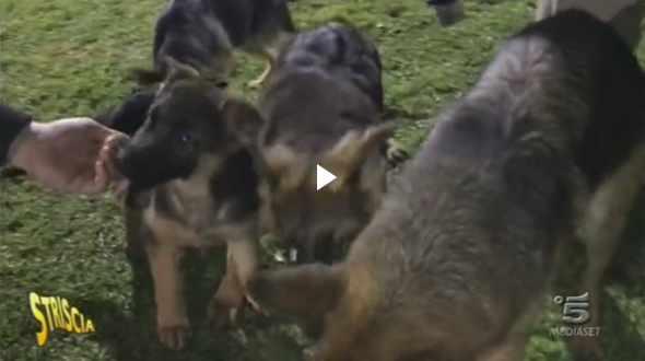 Striscia a Torre del Greco, Gare canine truccate