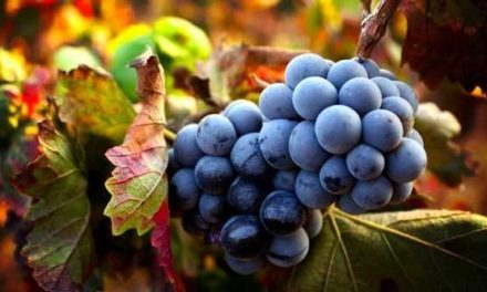 Studenti in vigna per raccogliere, vendemmiare e valorizzare l'Uva di Sabato