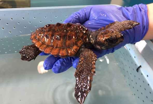 """Portici. Arriva """"Peppiniello"""", il piccolo esemplare di tartaruga Caretta caretta"""