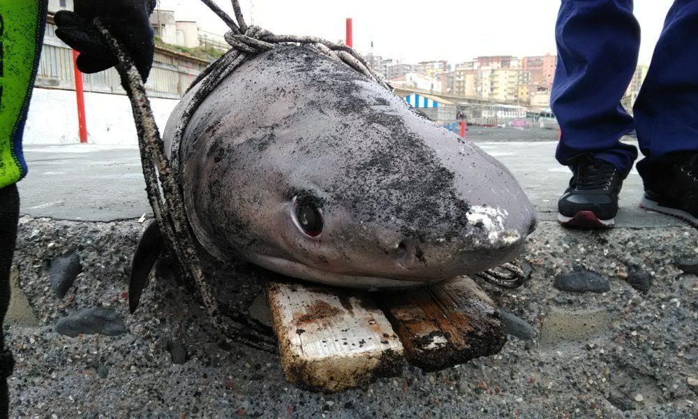 Carcassa di uno squalo recuperata tra Ercolano e Torre del Greco