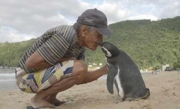 Pinguino nuota per 8mila chilometri per ritrovare l'uomo che l'ha salvato