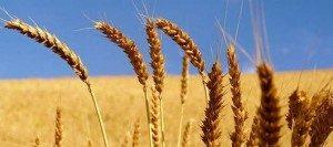 Agricoltura-Spiga-Grano