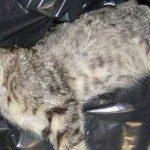 Taglia da 5mila euro per l'avvelenatore di gatti