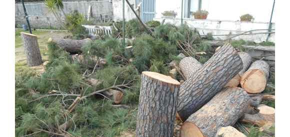 La proposta: per ogni pino abbattuto un nuovo pino da piantare!