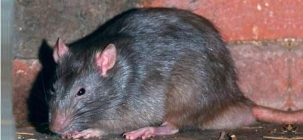 A Torre è allarme topi